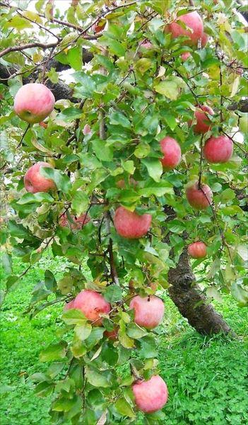 りんご狩り_R.jpg
